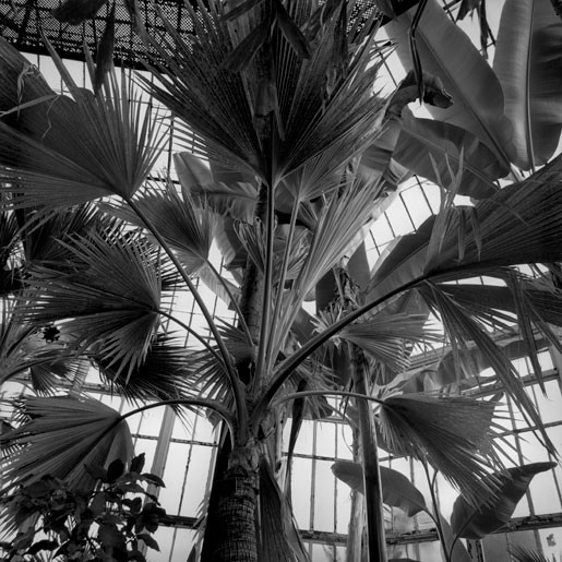 The Palm House Livistonia rotundifolia