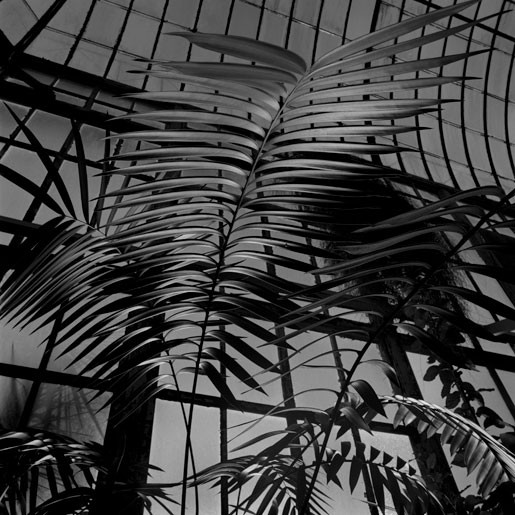 The Palm House Ceratozamia fuscoviridis