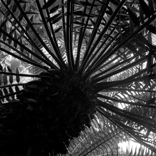 The Palm House Encephalartos natalensis