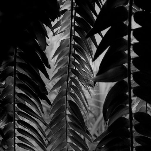 Cycad, from 'The Palm House' series