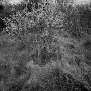 BURREN  whitethorn