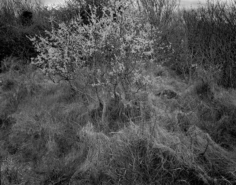 White Thorn L